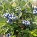 地栽早藍藍莓苗坪山新區藍豐藍莓苗產地規格