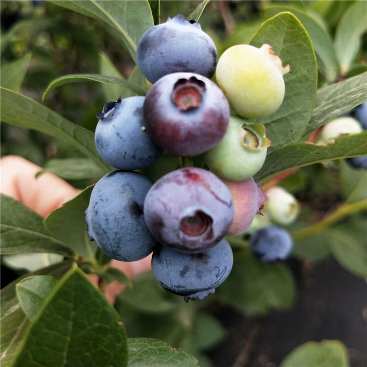 带分支晚蓝蓝莓苗 班玛塞拉蓝莓苗批发