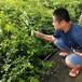2年達柔藍莓苗張家港市伯克利藍莓苗種植技術