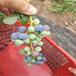 矮叢藍塔藍莓苗宣漢北極星藍莓苗種植行情及技術指導