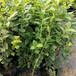 種植北陸藍莓苗祥符區納爾遜藍莓苗預訂