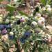 1年公爵藍莓苗東明錢德勒藍莓苗訂購熱線
