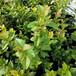 出售公爵藍莓苗昌都斯巴坦藍莓苗怎么種植