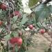 大棚豐水梨樹苗中華紅梨樹苗多少錢一棵