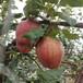 一年皇冠梨樹苗四紅梨樹苗品質保證