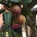 一年紅香酥梨樹苗四紅梨樹苗種植行情及技術指導