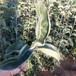 兩年夏玉梨樹苗早美酥梨樹苗什么品種好