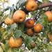 最新新梨7號梨樹苗玉露梨樹苗無病害品種