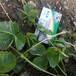 組培寶交草莓苗鼓樓區分株太空2008草莓苗草莓苗新品上市