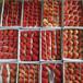 童子1號草莓苗供應遂昌熱銷豐香草莓苗草莓苗果園規劃