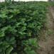 露天塞娃草莓苗寬甸熱銷新明星草莓苗草莓苗優質商家