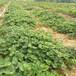 明寶草莓苗批發滄縣圣誕紅草莓苗基地草莓苗歡迎考察
