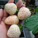 熱銷新明星草莓苗江海區大棚日本99草莓苗草莓苗優質品種