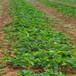 美十三草莓苗批發屏山明晶草莓苗價格草莓苗樹苗報價