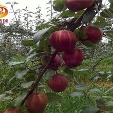 早酥红梨苗哪里便宜、0.8公分梨树苗品质实在图片