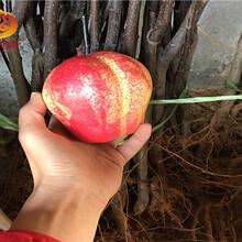 早酥红梨树苗哪里有出售、黄金梨树苗良心做人图片