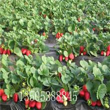露地草莓苗基地、汕头露地草莓苗推荐图片