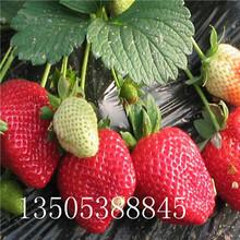 盆栽草莓苗批发、咸阳盆栽草莓苗推荐图片