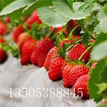 露地草莓苗基地-清远推荐图片