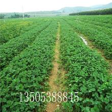奶油草莓苗价格-荣昌推荐图片