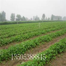 新品种草莓苗多少钱-昌吉推荐图片