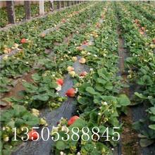 拉松草莓苗多少钱一株-新余推荐图片