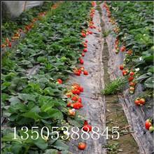 优质草莓苗多少钱一棵、铜川优质草莓苗推荐图片