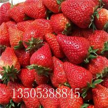 桃熏草莓苗哪里有、锡林郭勒盟桃熏草莓苗推荐图片