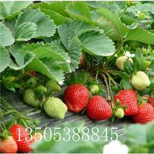 白草莓苗基地-宜宾推荐图片