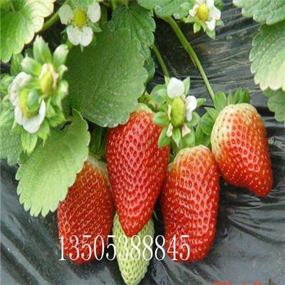 拉松草莓苗多少钱一株抗病成活率高