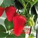 草莓苗子厂家供货奶油草莓苗