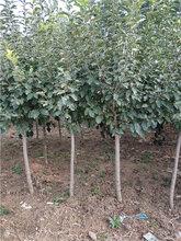 3公分苹果树哪里有4公分5公分6公分苹果树大量供应规格齐全图片