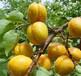 2公分定植杏树苗价格3公分4公分杏树哪里有