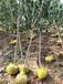 7公分凯特大杏树哪家买1公分杏树苗