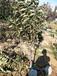 5公分樱桃树2公分吉塞拉矮化樱桃苗
