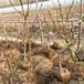 8公分大桃树批发商