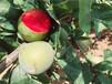 1公分味帝李子苗什么时候种植味帝血丝李树苗市场走向