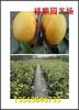2018年卡麦罗莎草莓苗卖的多少钱