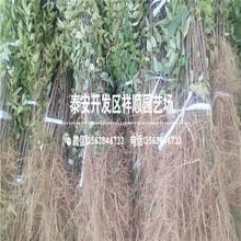 附近哪里有露天油叶花椒苗批发基地图片