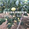 现在1米高皖农一号桃树苗育苗基地