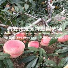 今年2年的五月红桃树苗基地在哪图片