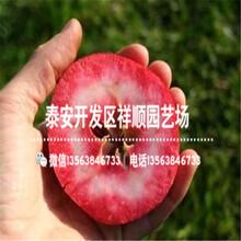 今年1米高的苹果苗基地在哪图片