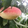 新品种五月红桃树苗供应价格、五月红桃树苗种植基地