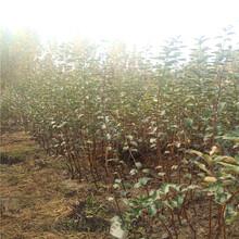 山东烟富6号苹果树苗一亩地栽多少棵烟富6号苹果树苗品种介绍图片