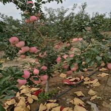 山东红嘎啦苹果树苗几年结果红嘎啦苹果树苗果实好吃吗图片