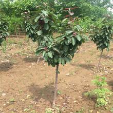 鲁丽苹果树苗供应价格鲁丽苹果树苗多少钱一株图片