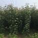 1米高的苹果树苗主产区1米高的苹果树苗正品苗出售