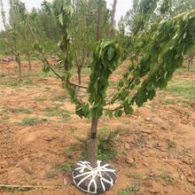 优质1米高樱桃苗什么时间种好1米高樱桃苗市场卖多少钱图片