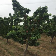 优质吉塞拉大樱桃苗、吉塞拉大樱桃苗多少钱图片