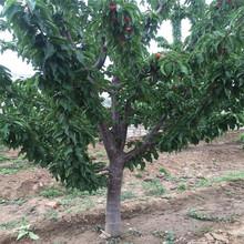 优质玛瑙红樱桃树苗玛瑙红樱桃树苗供应价格图片